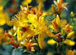Hypericum perforatum fiori