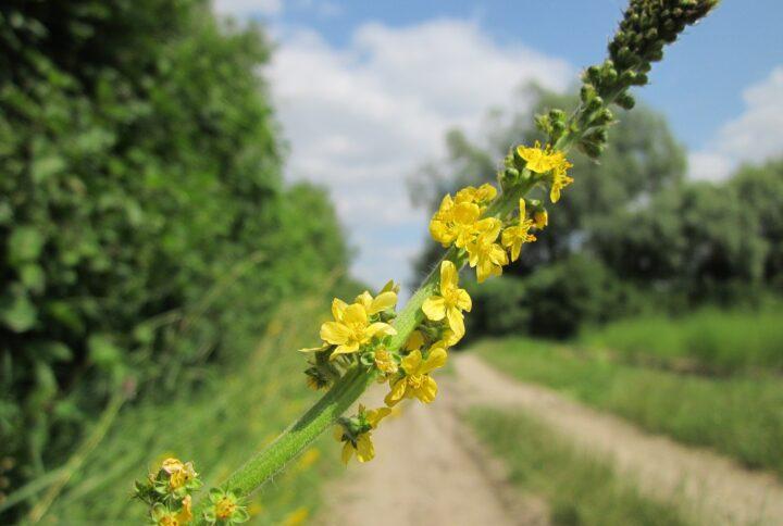 Agrimony: il fiore di Bach che porta l'armonia interiore